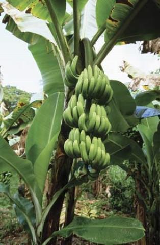 How To Keep Bananas Fresh